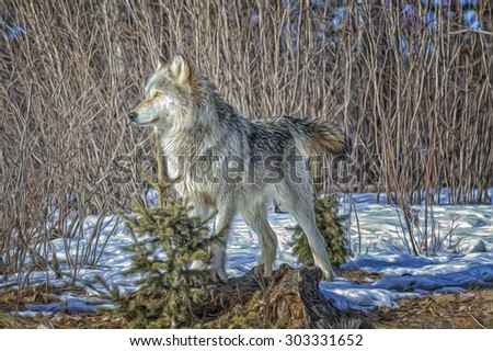 Timber wolf portrait,digital oil painting - stock photo