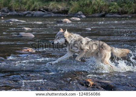 Timber wolf running through swift river water after his prey - stock photo