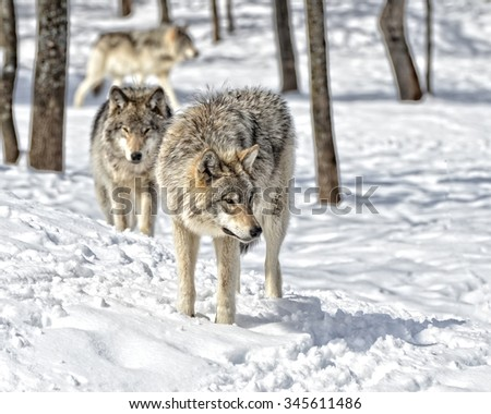 Timber Wolves gathering in snow covered  forest - stock photo