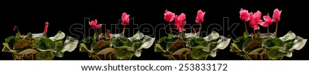 Time lapse series of pink cyclamen flowers blooming. - stock photo