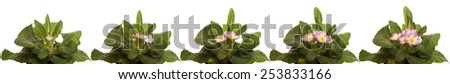 Time lapse series of primrose flowers blooming. - stock photo