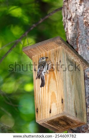 Timirjazevsky park, Moscow. Russia. Pied Flycatcher (Ficedula hypoleuca, Muscicapa hypoleuca). - stock photo