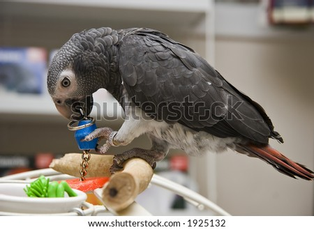 Timneh African Grey in a Bird Store - stock photo