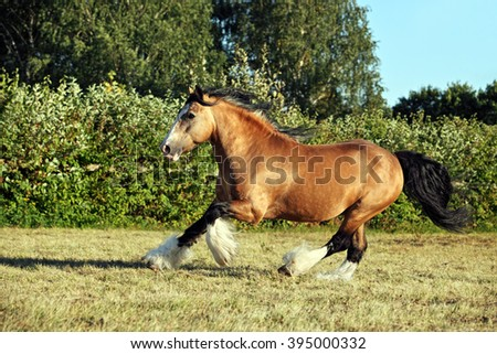 Tinker traveller pony gallops in evening pasture