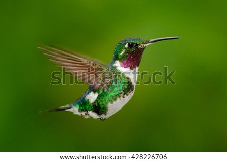Tinny hummingbird. White-bellied Woodstar, hummingbird with clear green background. Bird from Tandayapa. Hummingbird from Ecuador. Hummingbird in nature habitat. Flying hummingbird in tropic forest.