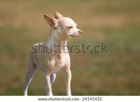Tiny Agility Dog - stock photo