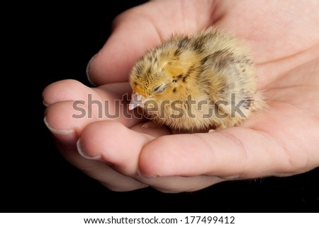 Tiny baby quail being held - stock photo