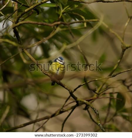 Tiny Blue tit on a feeder in a garden. (lat. Parus caeruleus)  - stock photo