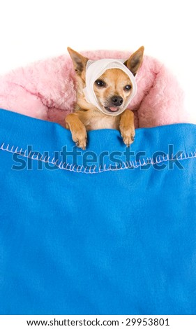 tiny chihuahua in bed with a headache - stock photo
