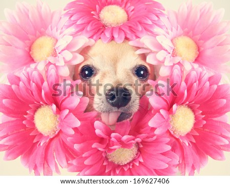 tiny chihuahua with flowers around his head (focus on the tongue) - stock photo