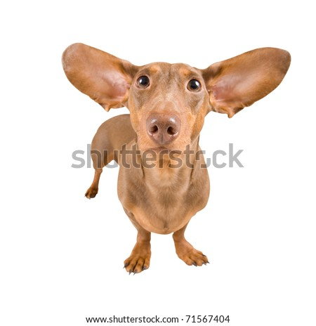 tiny dachshund with flying ears