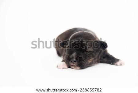 Tiny Dark Brindle One Week Old Puppy on White Background - stock photo