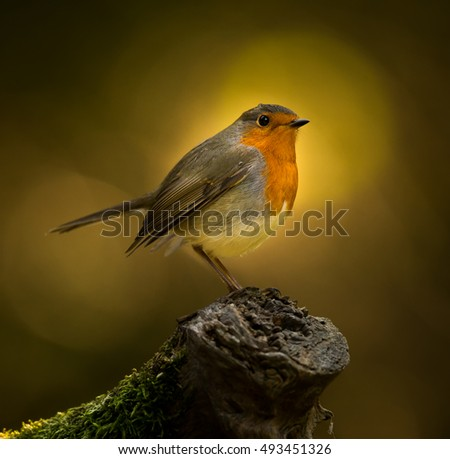 Tiny dumpling,robin in the forest