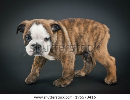 Tiny English Bulldog puppy standing on a black background. - stock photo