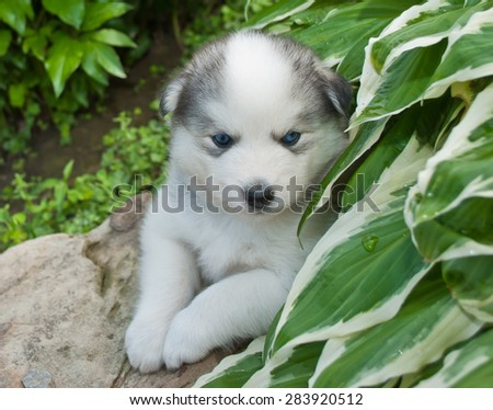 Tiny five week old Huskimo puppy outdoors laying on a rock with plants around him. - stock photo