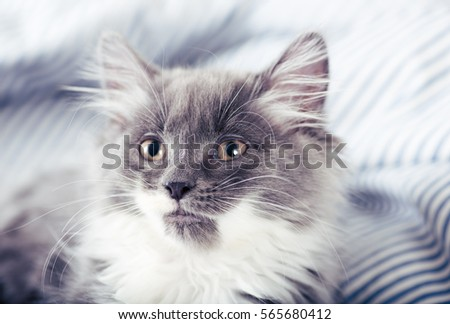 Tiny Fluffy Gray and White Kitten Relaxing on Bed