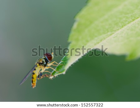 Tiny fly on end of a leaf. - stock photo