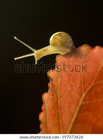 Tiny garden snail sliding on red Begonia leaf - stock photo