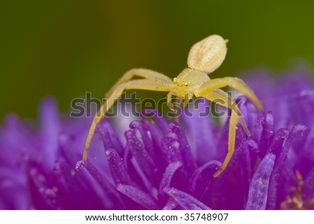 Tiny golden crab spider on purple porcupine flower - stock photo