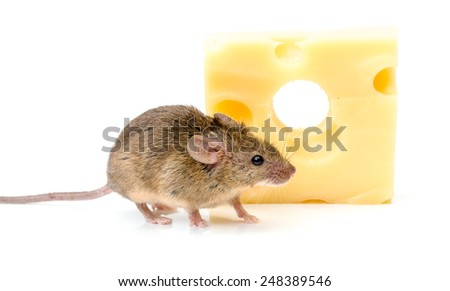 Tiny house mouse (Mus musculus) near big cheese