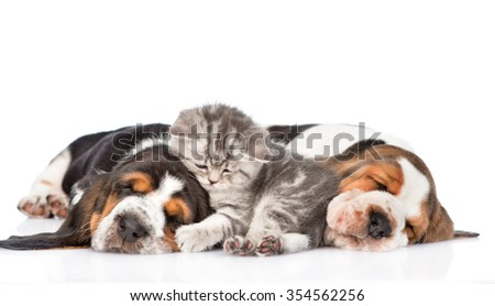 Tiny kitten lying on the puppies basset hound. isolated on white background