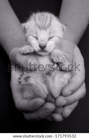Tiny kitten sleeping in two hands black and white - stock photo