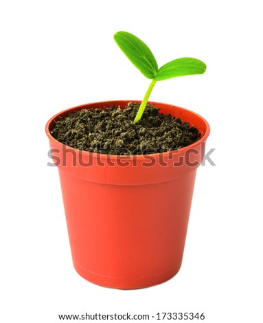 tiny little seedling of  plant in flowerpot is isolated on white background - stock photo