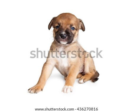 Tiny little Shepherd mixed breed puppy sitting on white studio background