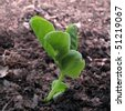 Tiny pea seedling emerging from the spring soil - stock photo