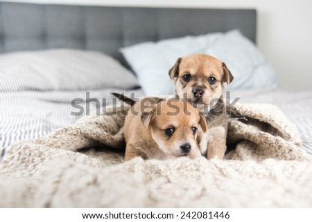 Tiny Puppies Sitting in Bed