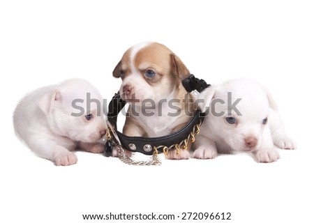 Tiny puppy in a big collar - stock photo