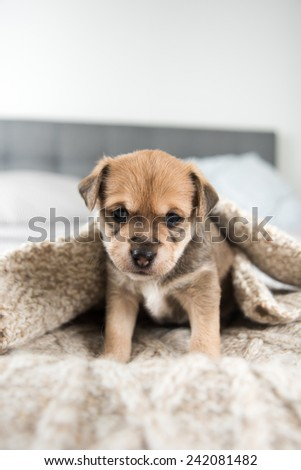 Tiny Puppy on Bed - stock photo