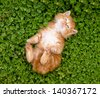 Tiny red kitten outdoors portrait. - stock