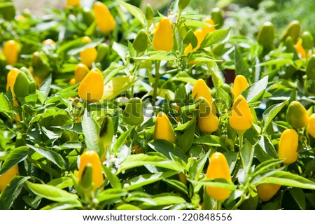 Tiny small sweet peppers growing with selective focus - stock photo
