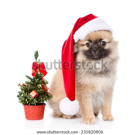 tiny spitz puppy with santa hat and christmas tree. isolated on white background - stock photo