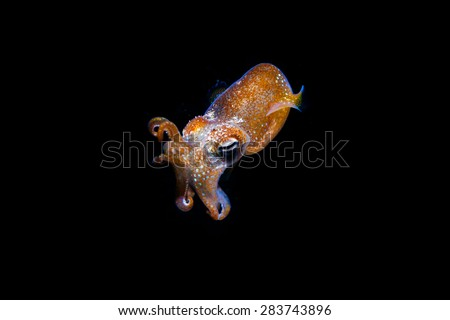 tiny squid floating in the sea