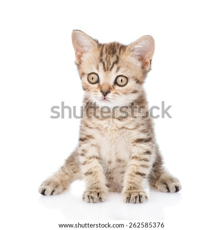 Tiny tabby kitten looking at camera. isolated on white background