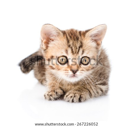Tiny tabby kitten lying in front. isolated on white background
