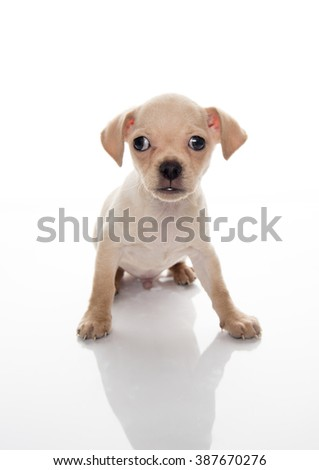 Tiny Tan Colored Chihuahua Puppy on White Background with Reflection
