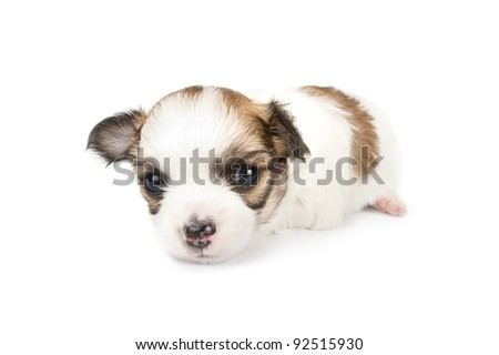 tiny three weeks old Chihuahua puppy close-up on white background - stock photo