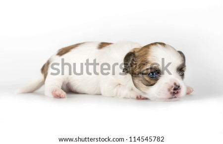 tiny  three weeks old Chihuahua puppy lying down on white background - stock photo