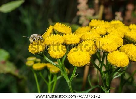 tiny wild bee on mugwort - stock photo