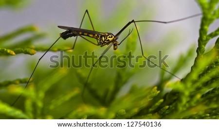 Tipulidae - Crane fly - stock photo