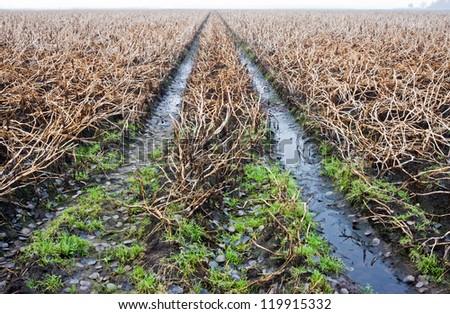 Tire tracks in a wet, muddy potato field - stock photo