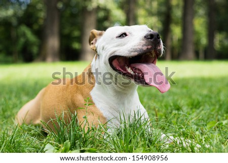 Tired American Stafford shire terrier lying down in the park.