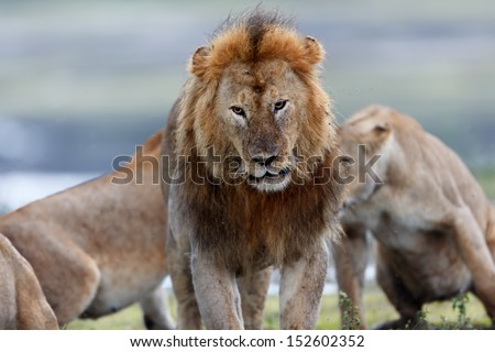 Tired and wet big Lion with fighting Lionesses in the background, Ndutu River, Serengeti - stock photo