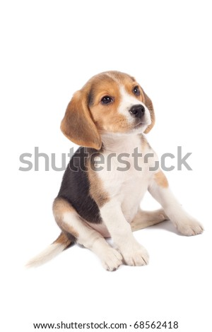 tired beagle puppy is seatinh on a white background - stock photo