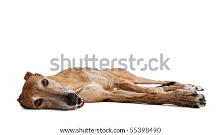 Tired brindle Greyhound Dog laying down with tongue out - stock photo