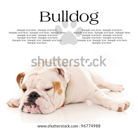 Tired Bull Dog Resting with Text Space Above - stock photo