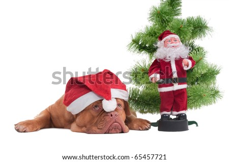 Tired Dog with Santa's cap lying next to a Christmas tree and Santa toy - stock photo